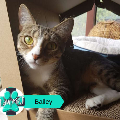 Bailey - Domestic Short Hair Cat