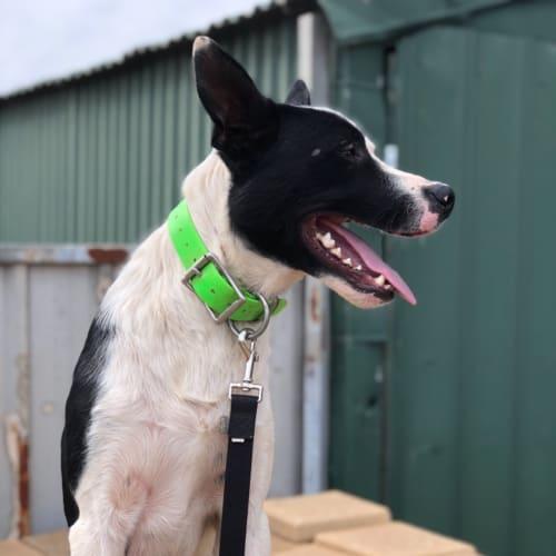 Maxx - Border Collie Dog