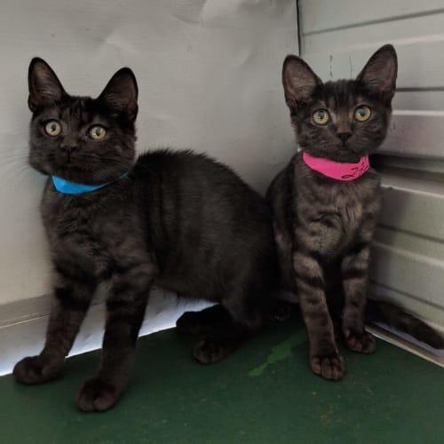 Zoey and Joey - Domestic Medium Hair Cat