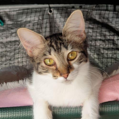 Arista - Domestic Long Hair Cat