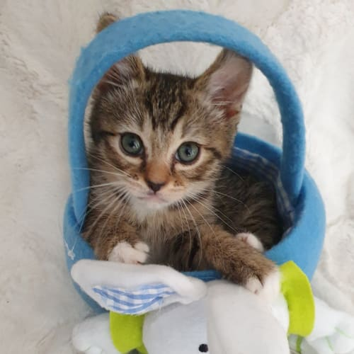 Erebus - Manx x Ragdoll Cat