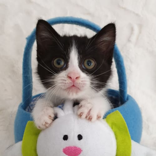 Nyx - Domestic Short Hair x Ragdoll Cat