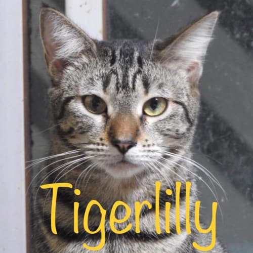Tigerlilly - Domestic Short Hair Cat