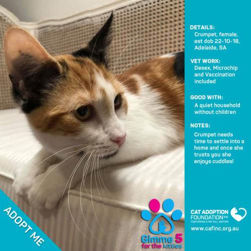Crumpet - Domestic Short Hair Cat