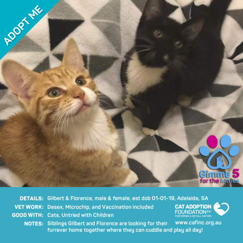 Gilbert and Florence - Domestic Short Hair Cat