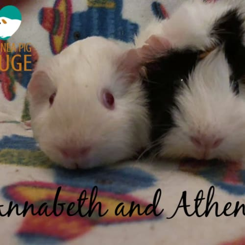 Annabeth and Athena - Abyssinian Guinea Pig