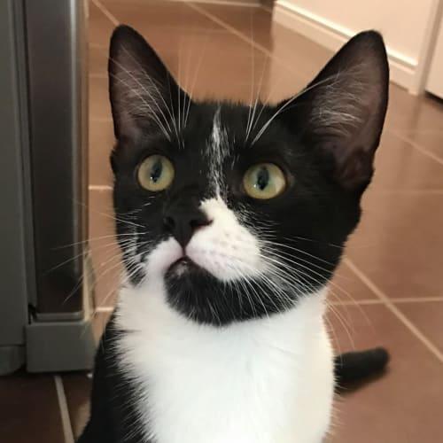 Kim - Domestic Short Hair Cat