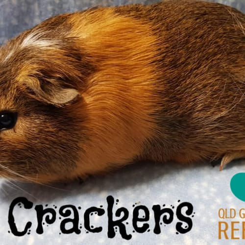 Crackers - Smooth Hair Guinea Pig