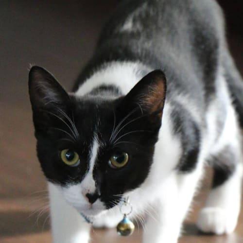 AK2963 - Makita - Domestic Short Hair Cat