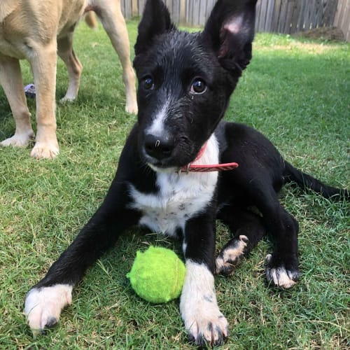 Tas - Kelpie Dog