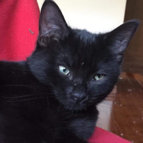 Periwinkle -Meet me at Cat Lounge/Neko HQ Preston - Domestic Short Hair Cat
