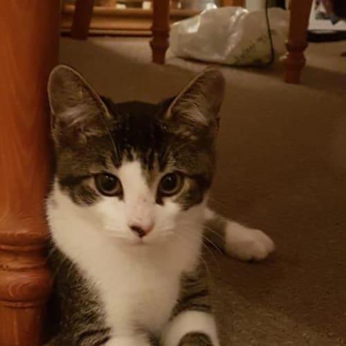 Hank - Domestic Short Hair Cat