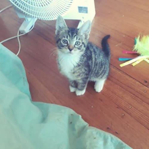 Quincy - Domestic Short Hair Cat