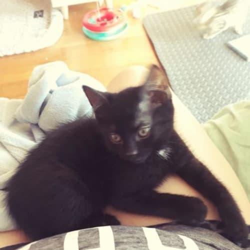 Rascal - Domestic Short Hair Cat