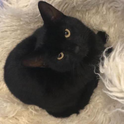 Harold - Domestic Short Hair Cat