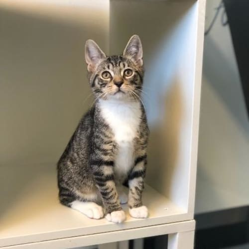 Sox - Domestic Short Hair Cat
