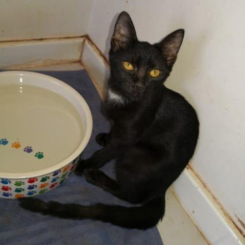 Bangles - Domestic Short Hair Cat