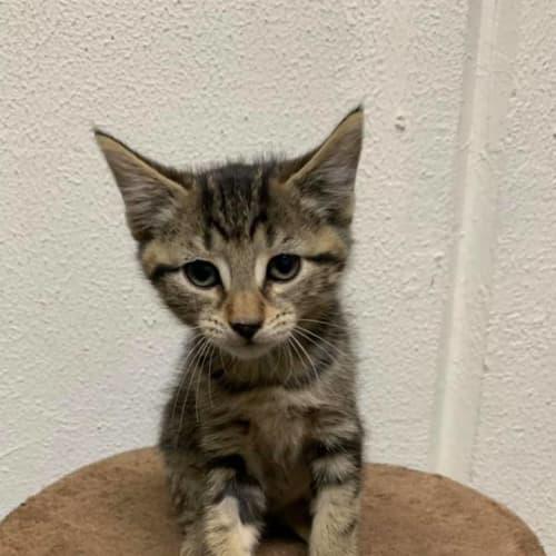 Athos - Domestic Short Hair Cat