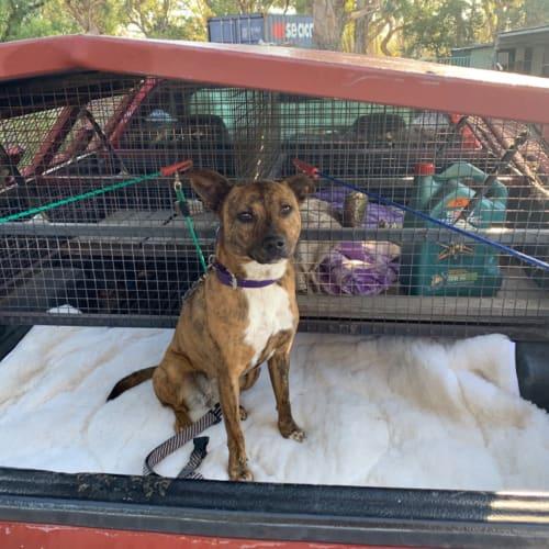 Arya - American Staffordshire Terrier Dog