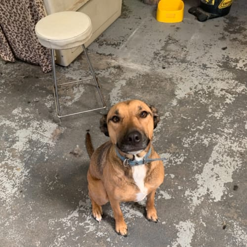 Chai - Kelpie Dog