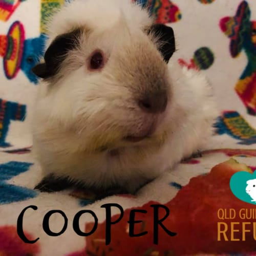 Cooper (desexed male) - Himalayan Guinea Pig