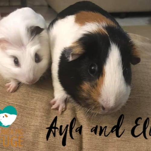 Ayla and Elio - Smooth Hair Guinea Pig