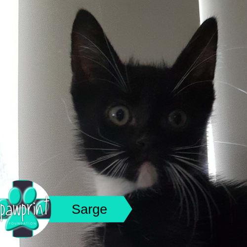 Sarge - Domestic Short Hair Cat