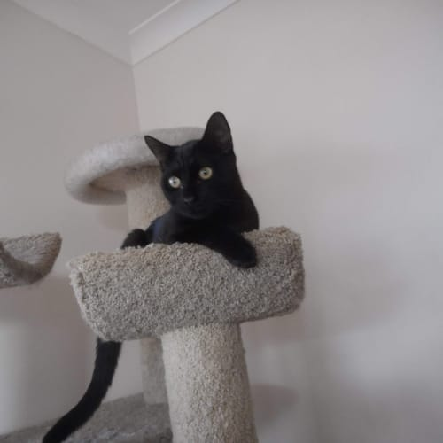 Ethan - Domestic Short Hair Cat