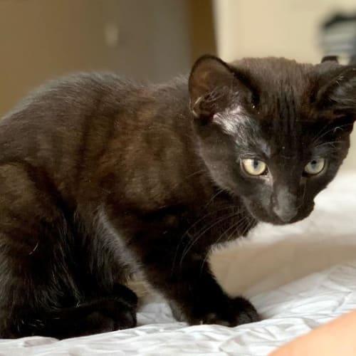 Tazzy - Domestic Short Hair Cat