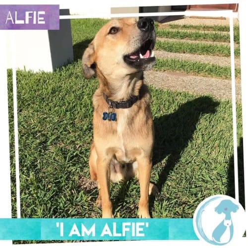 Alfie - German Shepherd Dog