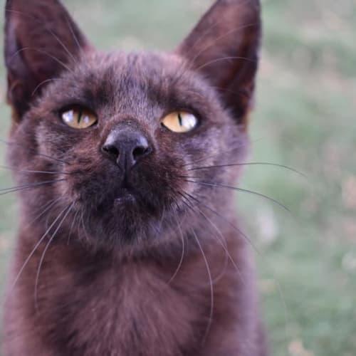 Dracula - Domestic Short Hair Cat