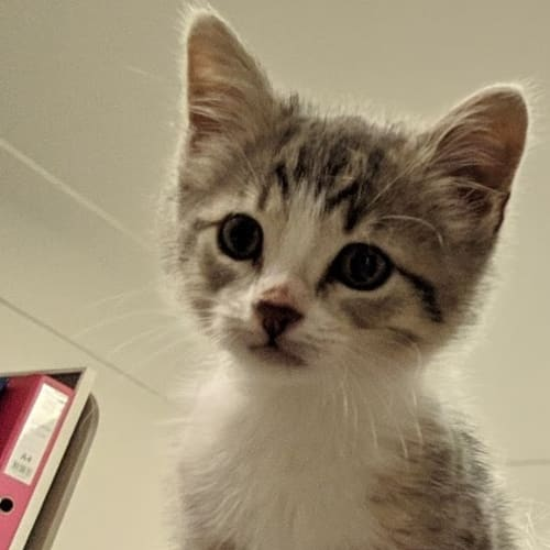 Flerken - Domestic Short Hair Cat