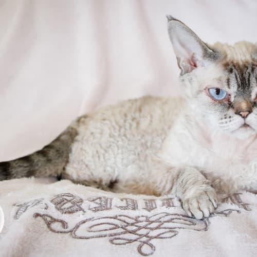 Yuki - Devon Rex Cat