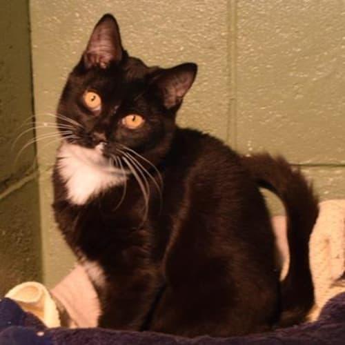 John  913165 - Domestic Short Hair Cat