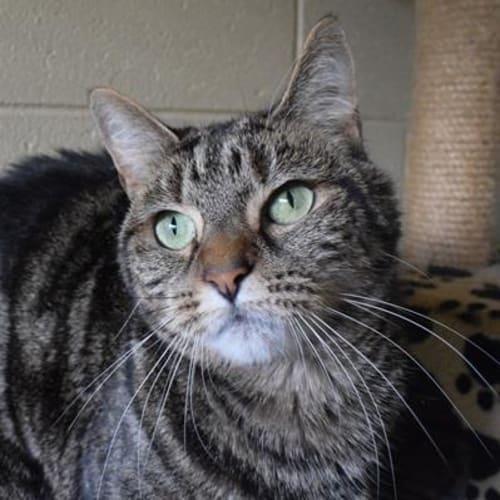 Khaleesi  915200 - Domestic Short Hair Cat