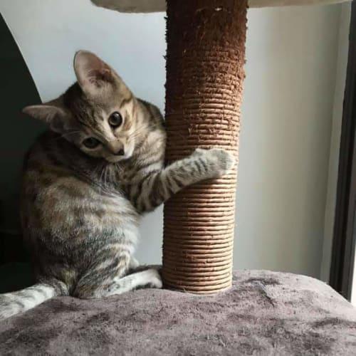 Lola - Domestic Short Hair Cat