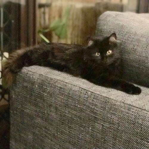 Luna - Domestic Long Hair x Domestic Medium Hair Cat