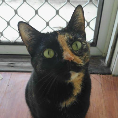 Poppet - Domestic Short Hair Cat