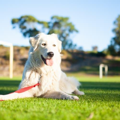 Abby - Maremma Sheepdog