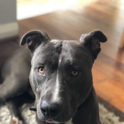 Rocky - American Staffordshire Terrier Dog