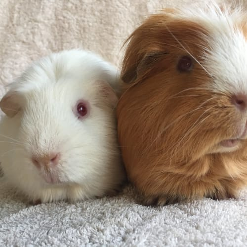 Sparkles and Ginger - Crested Guinea Pig