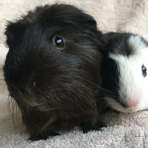 Bradley and Pepe - Crested x Smooth Hair Guinea Pig