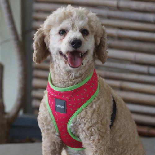 Elizabeth - Poodle Dog