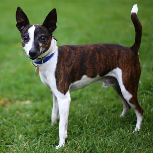 Brownie - Fox Terrier x Jack Russell Terrier Dog