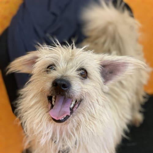 Buster - Shih Tzu x Australian Silky Terrier Dog