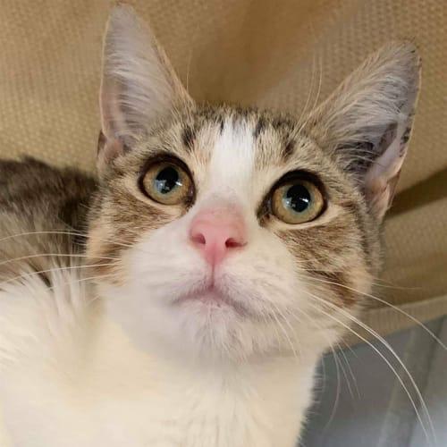 Claudia - Domestic Short Hair Cat