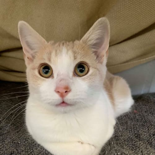 Clarence - Domestic Short Hair Cat
