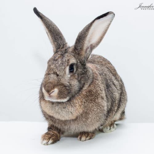 Gracie  - British Giant Rabbit