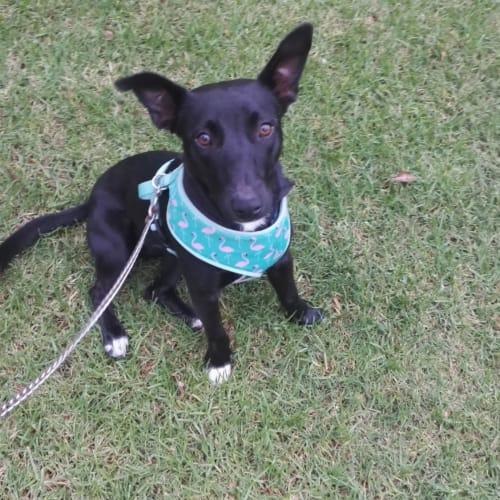 Theo ~ 1 year old Kelpie X Jack Russell - Jack Russell Terrier x Kelpie Dog