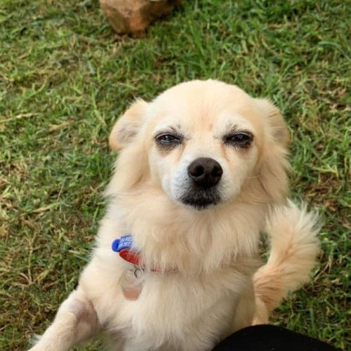Cashew ~ 11 year old Chihuahua - Chihuahua Dog